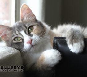 cat, calico, pretty, phoenix pet photography