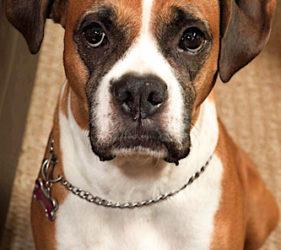 boxer dog, phoenix pet photography