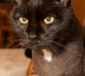 black cat, gold eyes, phoenix pet photography