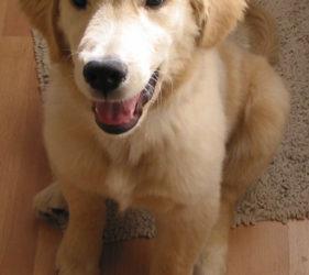 golden retriever puppy, phoenix pet photography